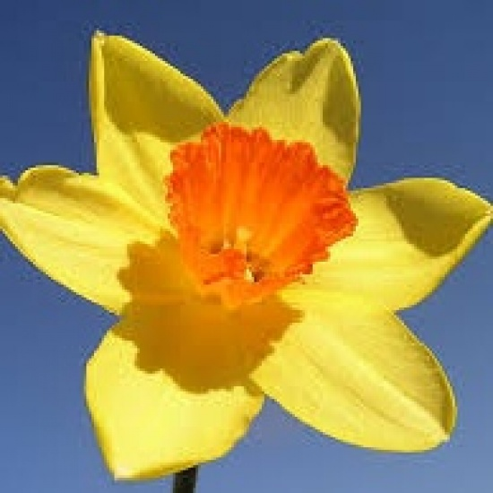 Daffodil Days are Back!