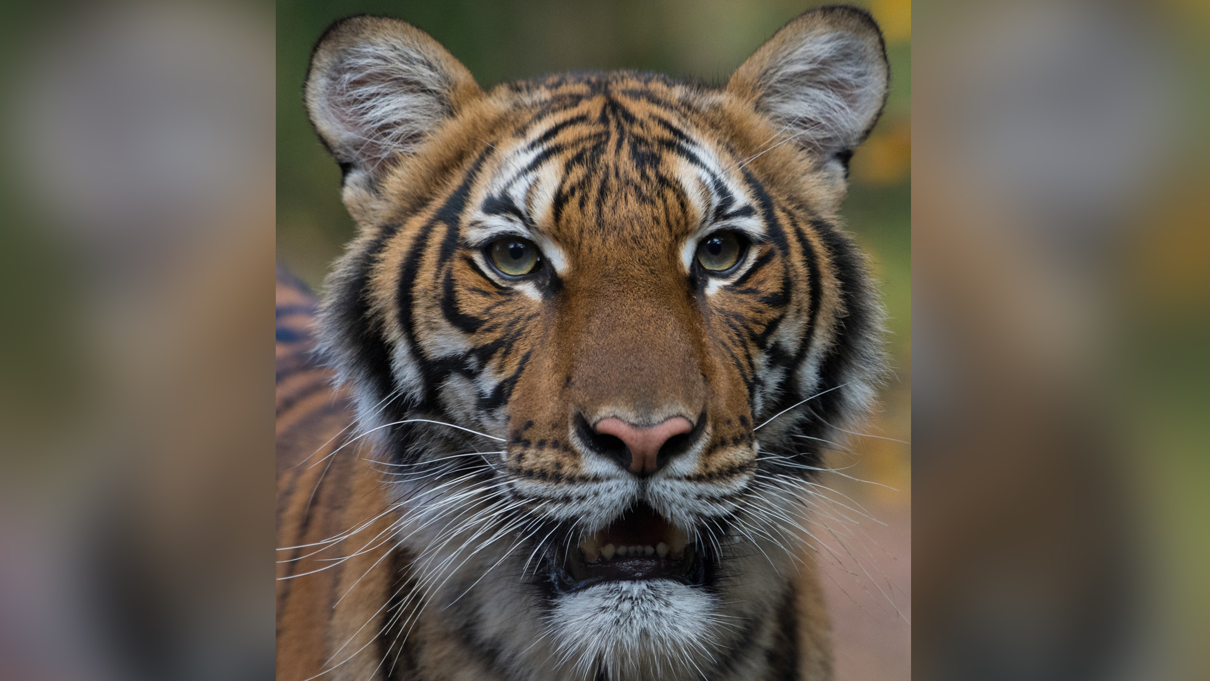 Tiger Infected with Covid-19 at the Bronx Zoo