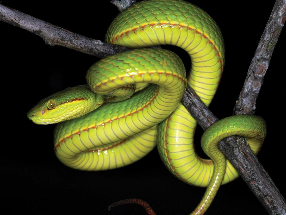 Scientists name Pit Viper after Harry Potter Character